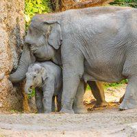 Asiatischer Elefant Elephas maximus; Ruwani